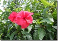 与那国島でいごの花