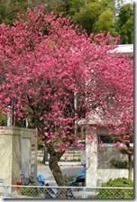 大山崎付近の桜