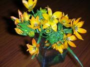 オーニソガラム黄色