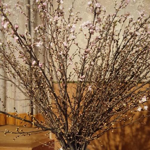 山形県人会桜