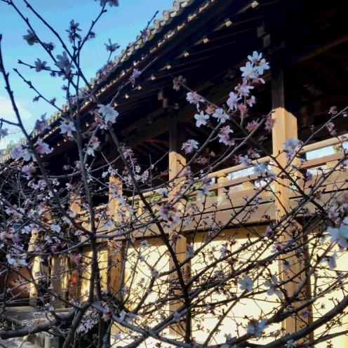 知恩院寒桜